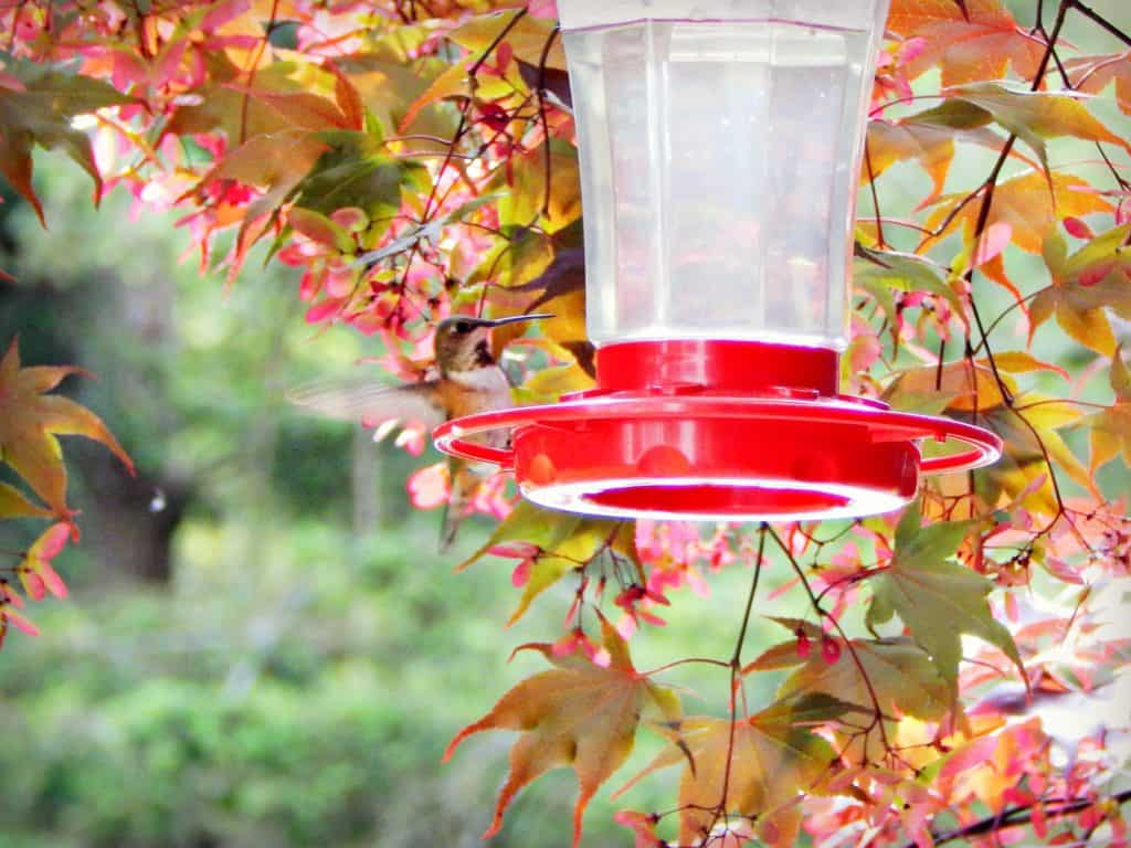 hummingbird drinking homemade hummingbird food at feeder.