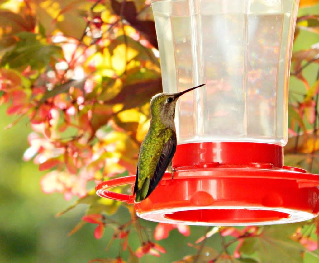 hummingbird at feeder drinking homemade hummingbird nectar.