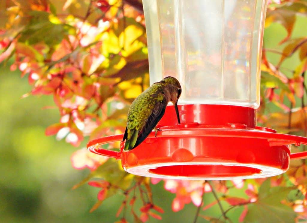 hummingbird with his beak in the feeder