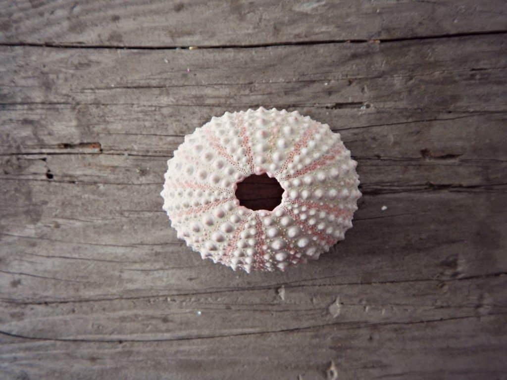 seaurchin1