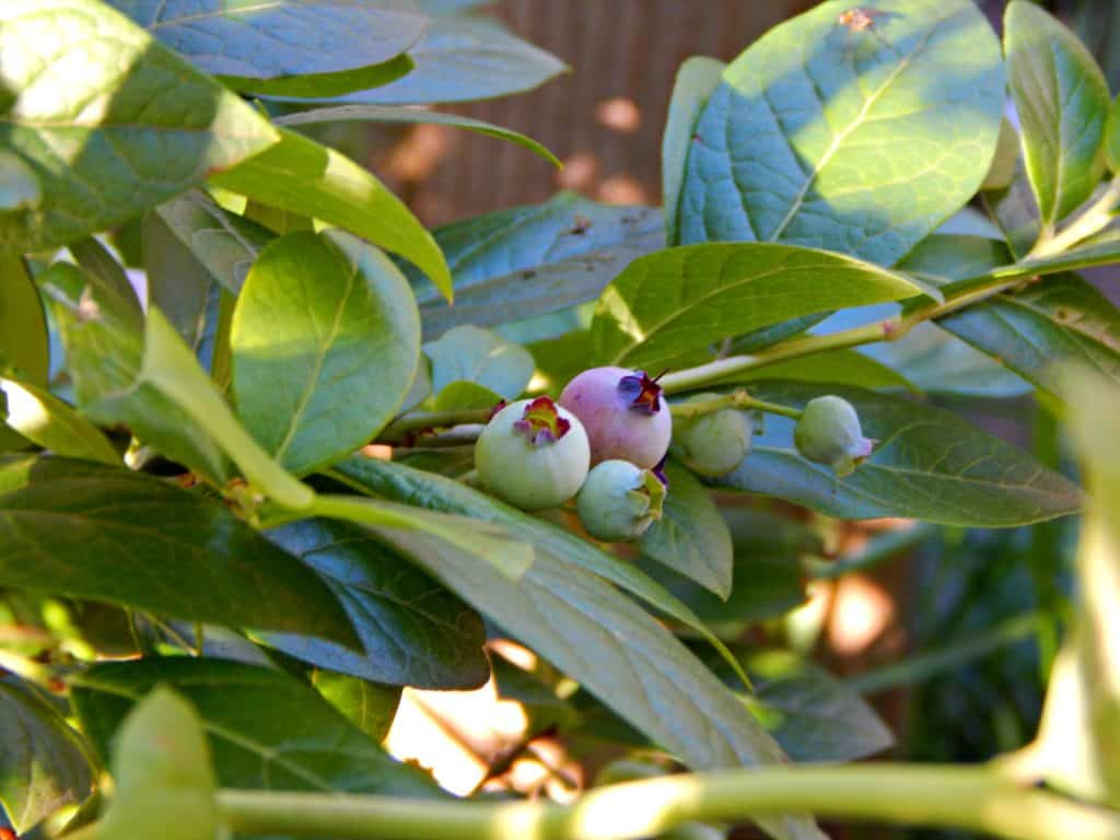 Blueberry growing tips