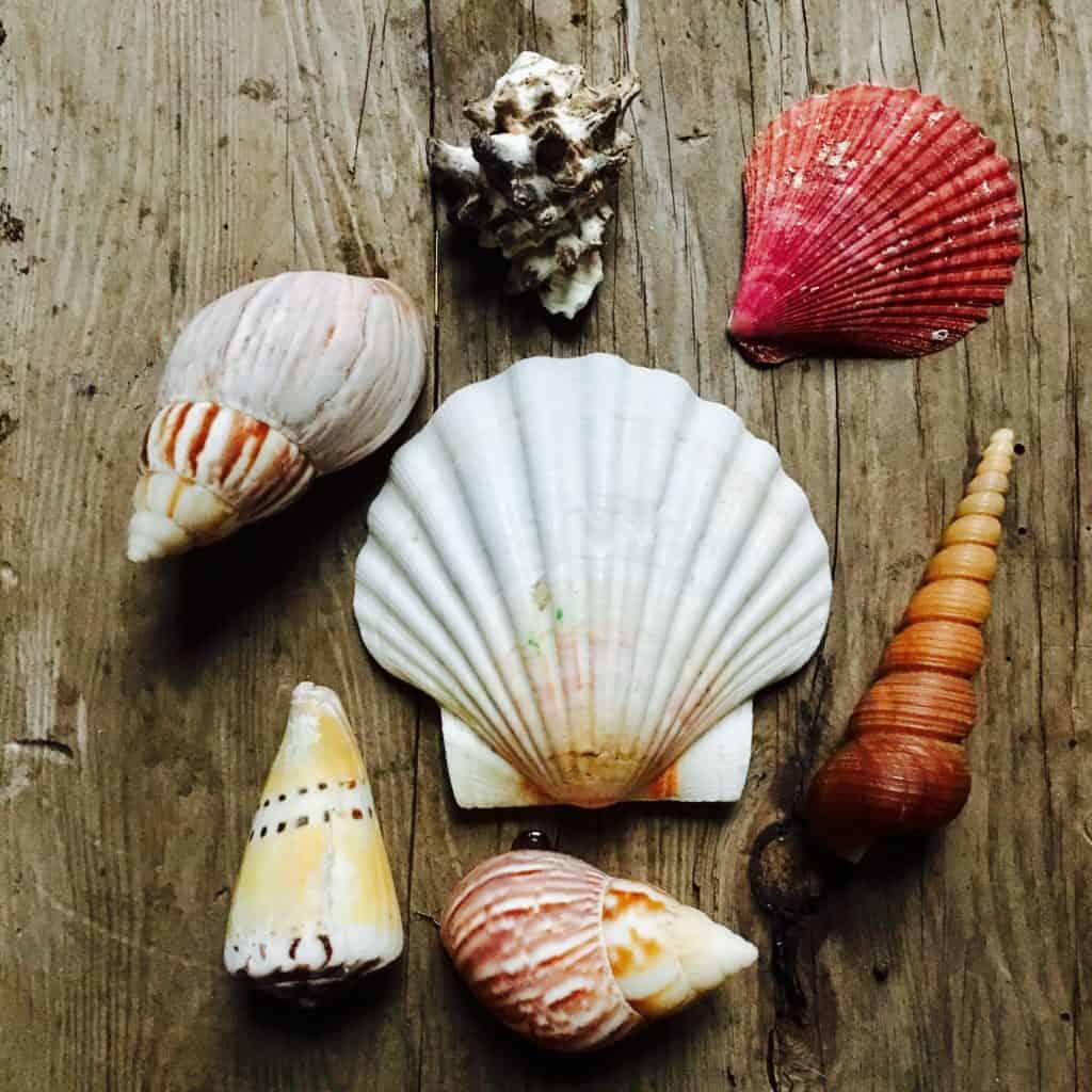 Michaels Craft Seashells