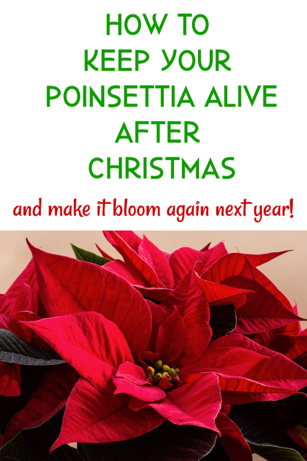 Poinsettia Care After Christmas