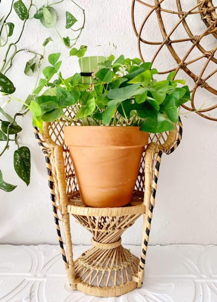 potted shamrock oxalis in wicker planter