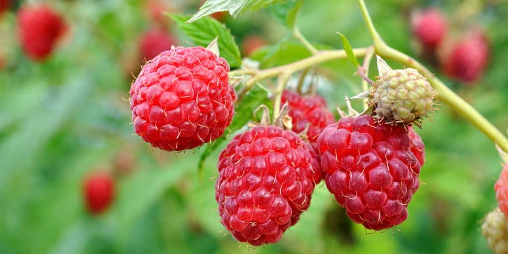 heritage everbearing raspberry bush
