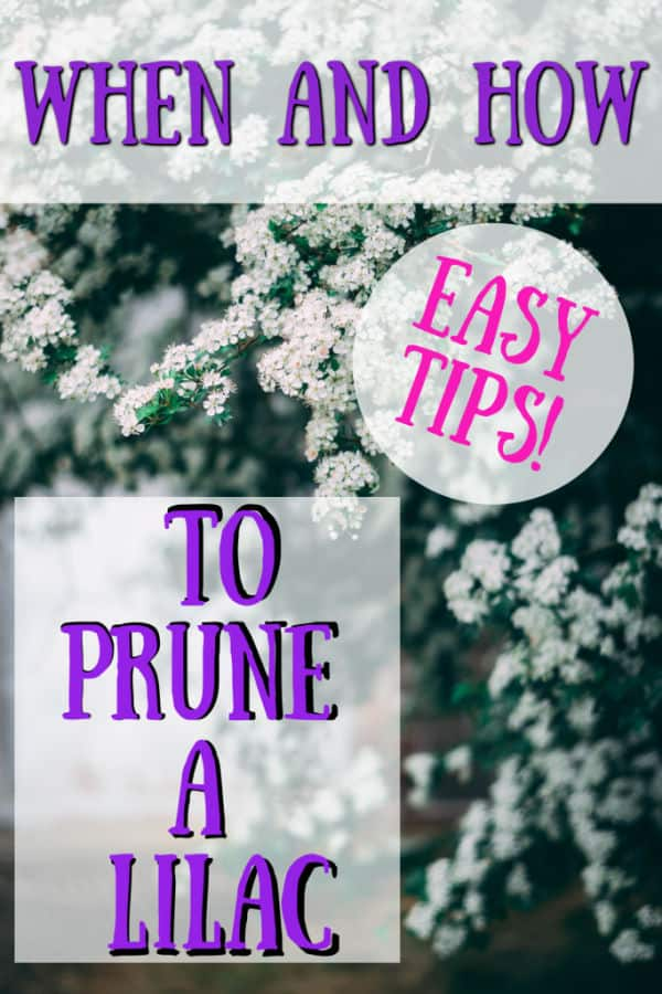 how to prune a lilac