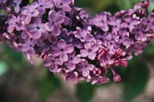 close up of purple lilac flowers