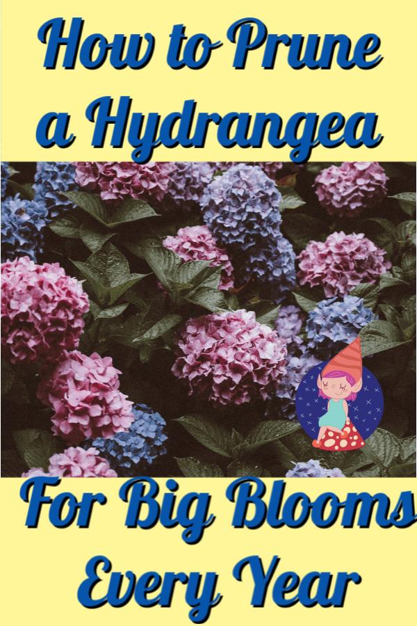 When should I prune a hydrangea?